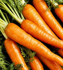 Danvers Half Long Sweet Carrot Organic  100+ seeds, medium deep orange Non-GMO