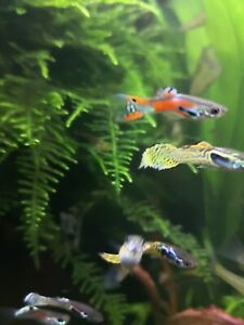 5 x MALE SNAKESKIN ADULT GUPPIES