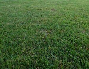 Zenith Zoysia Grass Seeds/  Lawngrass 1000 seeds