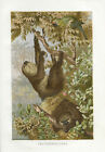 Faultier Farb-Lithographie 1890 Altes Bild Farbdruck Druck Print Zoologie Tiere