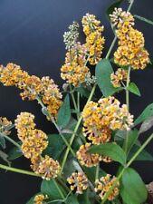 Sommerflieder Sungold Buddleja weyerian 40-60cm Insektennährpflanze Sommerblüher