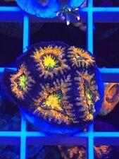 Extream orange rainbow acan WYSIWYG Coral saltwater reef tank Reefkingdom