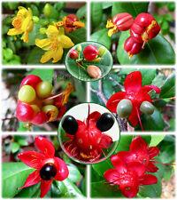 Ochna Serrulata Mickey Mouse, Bird's Eye Bush Seeds