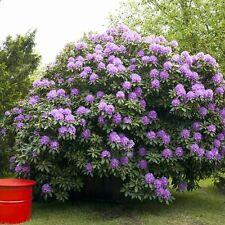 Rhododendron-Hybride 'Catawb.Grandiflorum' 4 L Topf gewachsen ca. 50cm