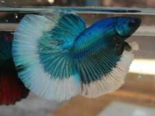 (Limited!) Premium Live Betta Fish l Male Halfmoon Turquoise Butterfly A3