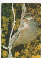 Ring Tailed Possum Australia Postcard 456a