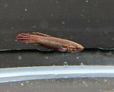 5 Betta coccina wild type- Live Fish