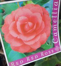 RED RED ROSE CAMELLIA