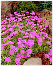 50 + DIANTHUS GROUNDCOVER SEEDS - MAIDEN PINK - PERENNIAL - EASY - FAST SHIPPING