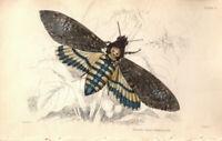 Handkolorierte Gravur: Totenkopfschwärmer von 1840 Entomologie Bild Druck RARE!