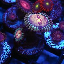 Cornbred White Zombies Zoas / Palys - Badass Frags Wysiwyg Live Coral Frag