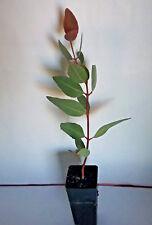 Eucalyptus petraea (Gum Tree) in 50mm forestry tube native plant