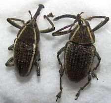 E CURCULIONIDAE set of 2 unnamed from  PERU