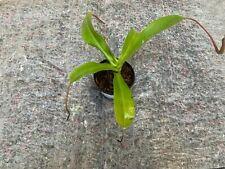 1 PIED NEPENTHES VENTRICOSA EN POT PLANT CARNIVORE TERRE ACIDE