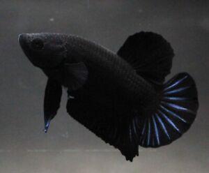 Pet Betta Plakat Fish Fight Live Super All Black Aquarium Home Fancy Male Plakad