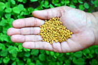Indian Whole Fenugreek seeds 100%Natural Trigonella Foenum Graecum natural Methi