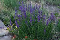 penstemon, PERENNIAL, blue flower, HUMMINGBIRD, 260 seeds! GroCo