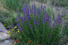 penstemon, PERENNIAL, blue flower, HUMMINGBIRD, 260 seeds! GroCo