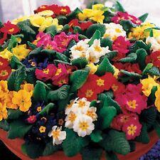 FLOWER PRIMROSE CROWN MIXED 75 FLOWER SEEDS