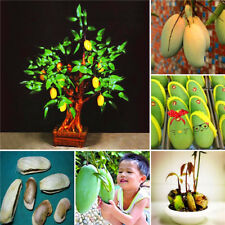 100% True Tropical Fruit Mango Seed Indoor Perennial Bonsai Tree Plant 1 Pcs/Bag