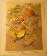 "White Winged Crossbill, Red Crossbill, Evening Grosbeak, 8.5""x 6.75"" Print"