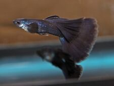 New listing Midnight Black Moscow -(1)-Male- Guppy.Buy How Many You Need! Beautiful!