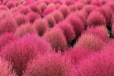 Kochia scoparia  var. trichophylla (Grass Burning Bush) 20 Rare fresh seeds