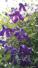 CLEMATIS VITICELLA SP. BEAUTIFUL OLD ENGLISH CULTIVAR PURPLE FLOWERS 20 SEEDS