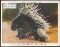 African Porcupine and Her Baby Young 1938 Trade Advertising Card