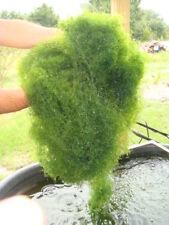 New listing Chaeto 1/4 Cup Chaetomorpha Macro Algae Breed Copepods Amphipods Tisbe Pods