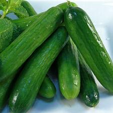 CUCUMBER Lebanese Organic Seeds (V 453)