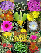 Cheiridopsis Mix, succulent cactus mixed living stones rocks plant seed 20 Seeds