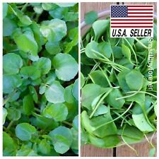 Watercress - 1,000 Seeds - Non-Gmo Superfood Spring/Fall Garden!