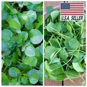 WATERCRESS - 1,000 Seeds - Non-Gmo SUPERFOOD Spring/Fall Garden!