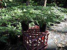 FAON FERN/Orchid Ally NZ Species Tree Fern , Dicksonia fibrosa x 2 .
