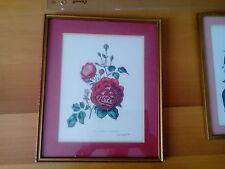Botanica -  Bellezze della Rosa di Henry Curtis 1850 Stampe in antica cornice