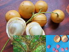 20 BURMESE GRAPE Baccuarea ramiflora Mafai Ma-Fai tree/plant/fruit seeds