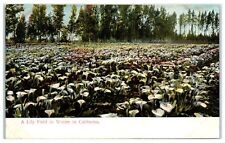 Early 1900s A Lily Field in Winter in California Postcard