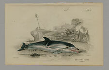 COMMON DOLPHIN HAND-COLORED PRINT JARDINE NATURALIST'S LIBRARY C. 1875