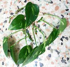 Pothos Plant Nitrate Remover Freshwater Tropical Aquarium Bowl Filter Aquaponics