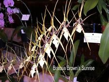 "MOS. Orchid Brassia Brown's sunrise ""Mark"" - Spider orchid-"