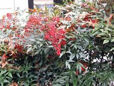 Nandina Domestica 'Heavenly Bamboo' - Easy to grow 20 seeds