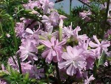 Seifen- Blumen Balkonpflanze Pflanzen für den Blumenkasten Blumentopf winterhart