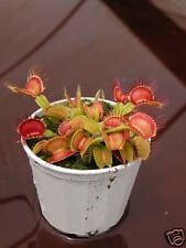Venus Fly Trap Carnivorous Plant