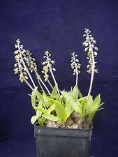 SCILLA PAUCIFLORA Ledebouria pauciflora Scilla Verde Squill vaso pot 7x7x10