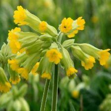 Primula veris / Cowslip / British Wildflower / Seeds / 0.5g (approx 500) seeds