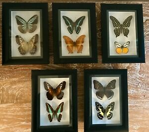 Framed real butterflies two double insects wall decor curio gift taxidermy