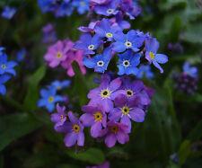 Forget Me Not Seeds - BLUE INDIGO RED - Rare Patio Garden Perennial * 25+ Seeds