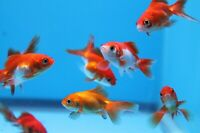 """2"""" Red and White Ryukin  -Lot of 5 Live Fancy Goldfish - FREE SHIPPING"""