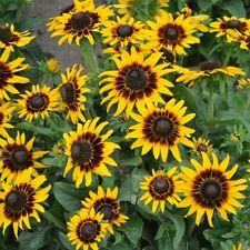 Kings Seeds - Rudbeckia Hirta Kelvedon Star - 150 Seeds